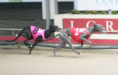 Launceston Greyhound Racing
